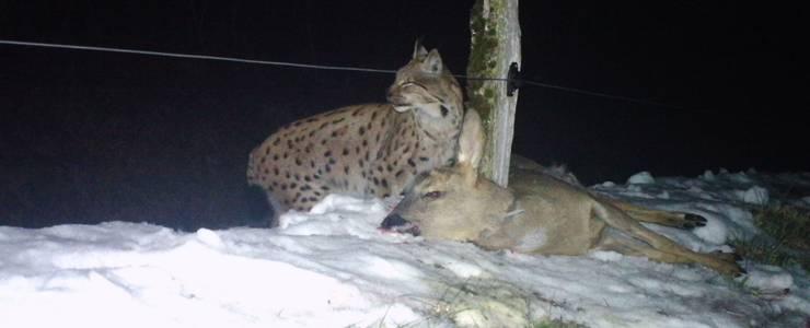 Charly Fehlmann, Jagdaufseher der Solothurner Jagdgesellschaft Lostorf-Wartenfels, hat eines Tages das Rehkadaver gefunden und es festgemacht.