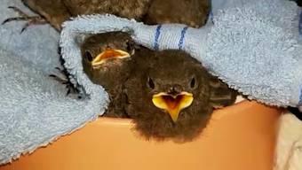Vogelpflegestation Unteres Seetal: Fünf kleine Hausrotschwänze machen Lärm, ein kleiner Hausspatz dafür umso weniger – und eine junge Mönchsgrasmücke wird gefüttert.