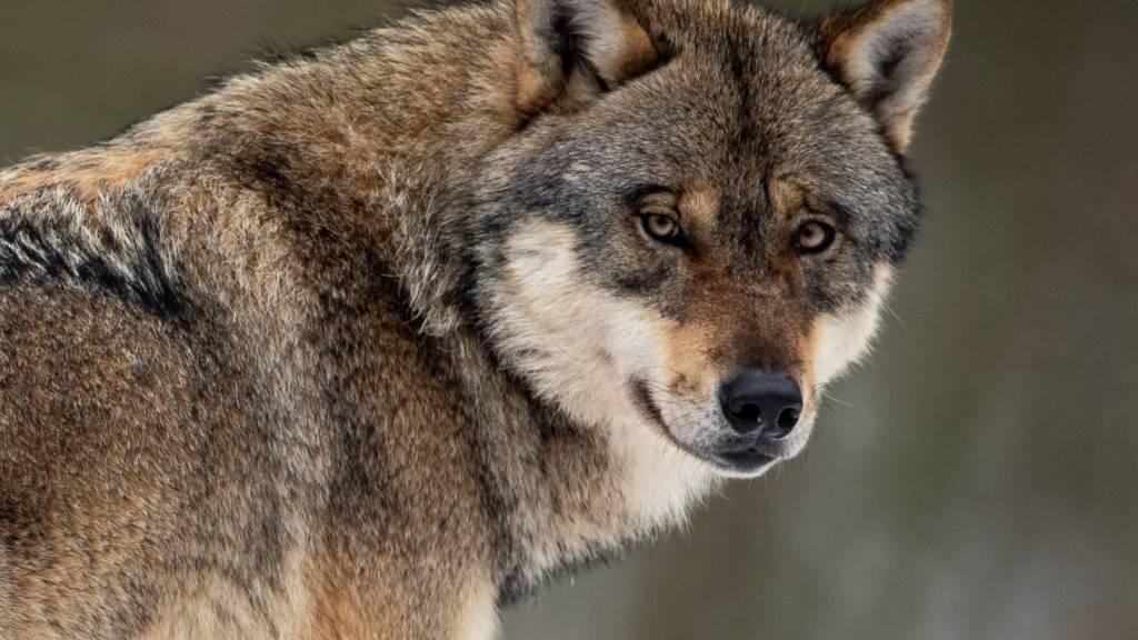 Der Wolf wird in Deutschland zunehmend auch in den Grossstädten gesichtet. (Archivbild)