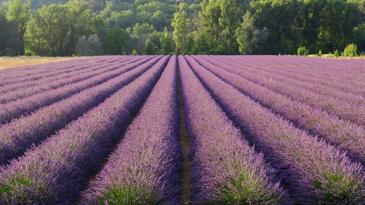 Lavendelfelder in der Provence, Frankreich