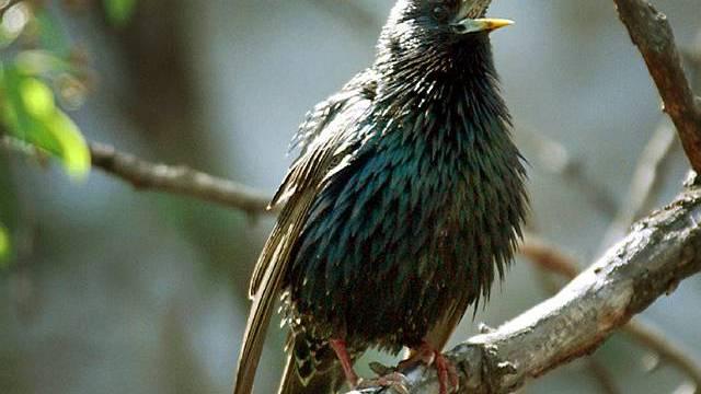 """Vögel der Art """"Sturnus Vulgaris"""" (Star) taten sich an Traubenresten gütlich (Archiv)"""