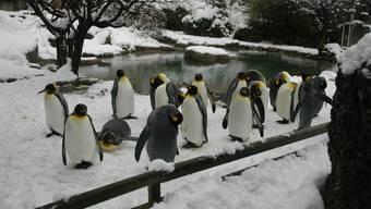 Wieviele Pinguine sind auf diesem Bild? Diese Frage stellt sich auch auf penguinwatch.org