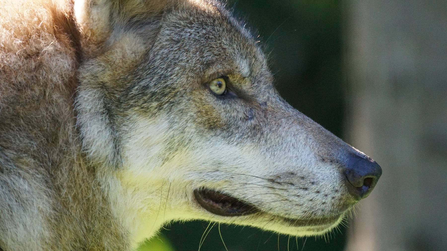Wolfsriss im Unteralptal in Andermatt