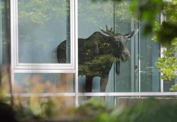 «Wie im Schaufenster»: Der Elch zog zahlreiche Schaulustige an.