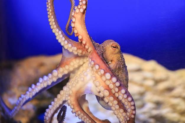 Meister der Tarnung: Dieser Oktopus zeigt sich nicht immer so offensichtlich.