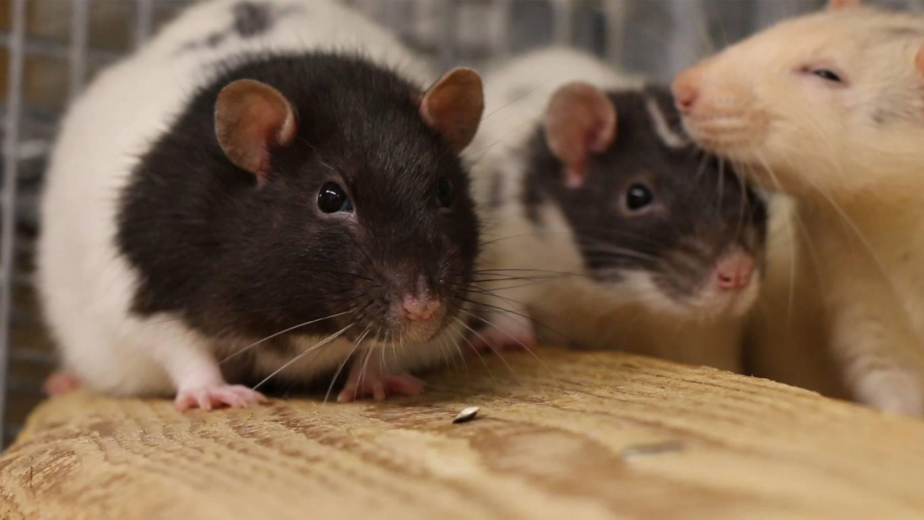 Ratten-Trio