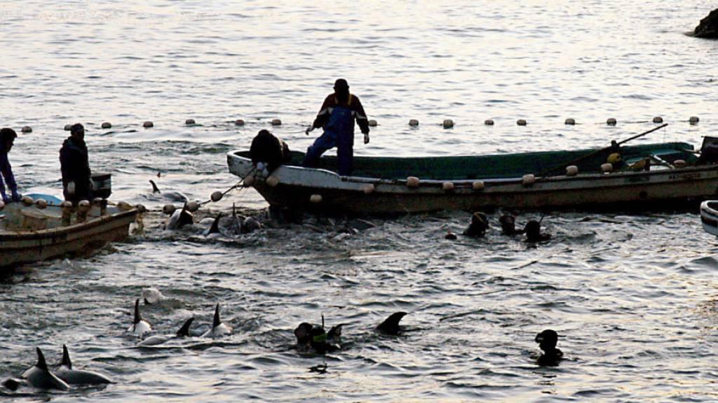 Japan macht wieder Jagd auf Delfine
