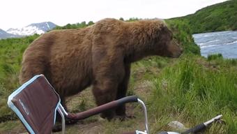Nur mal eben so vorbeigekommen: Braunbär in Alaska