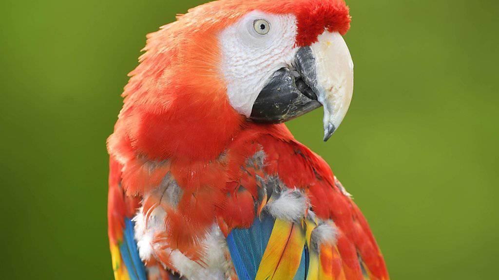 """Pippi Langstrumpfs Papagei """"Rosalinda"""", bürgerlicher Name Douglas, hat seine Gefährtin verloren. Sie kippte nach einem Kreislaufversagen von der Stange. (Archivbild)"""