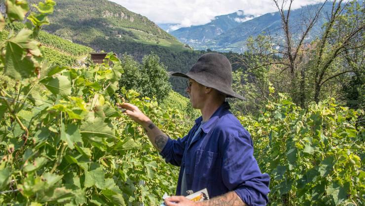 Im Element: Julien Guillon checkt seine Gamay-Reben oberhalb von Ayent bei Sion.