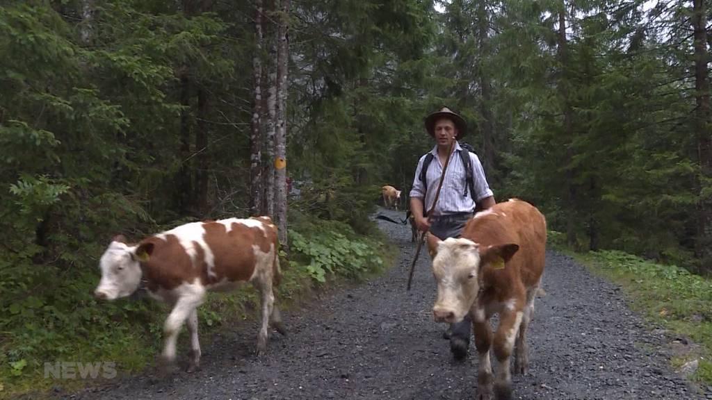 Vorgezogener Alpabzug: 450 Tiere müssen Engstligenalp frühzeitig verlassen