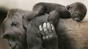 """Der Grosse Rat hat die """"Primateninitiative"""" am Mittwoch dem Regierungsrat zur inhaltlichen Berichterstattung überwiesen. (Symbolbild)"""