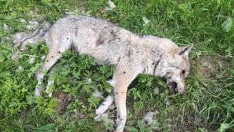 Noch ist nicht bekannt, woran die bei Jaun im Kanton Freiburg tot aufgefundene Wölfin gestorben ist.