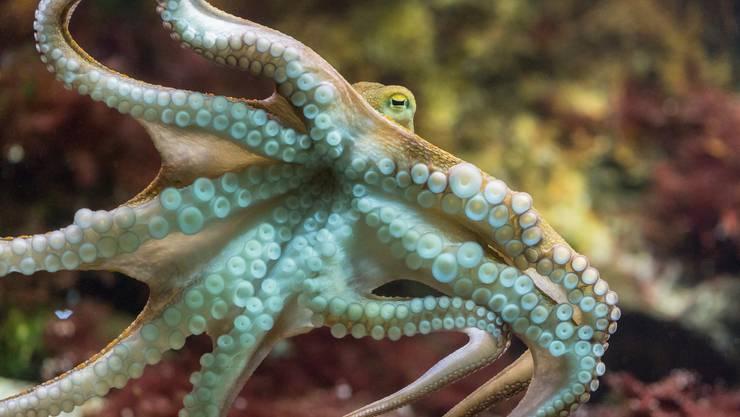 Oktopoden zählen zu den intelligentesten Tieren überhaupt.
