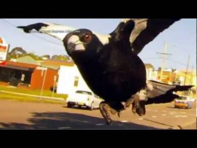 Auch der Australier James 'Dog' Musgrave wird regelmässig am Morgen von einer Elster angegriffen.