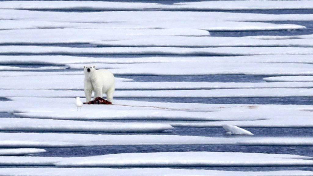 Ein Eisbär hat im hohen Norden Kanadas einen Jäger getötet. (Symbolbild)