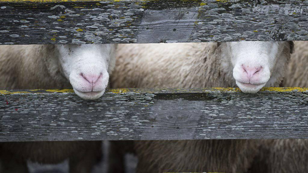 Ein Walliser Landwirt ist zu einer Busse verurteilt worden, weil auf seinem Hof Schafe geschächtet wurden. (Symbolbild)
