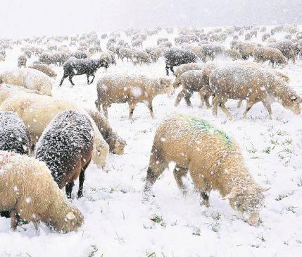 Unter dieser Schneedecke auf einer Weide in Kappel hat es genug Futter für alle 400 Schafe