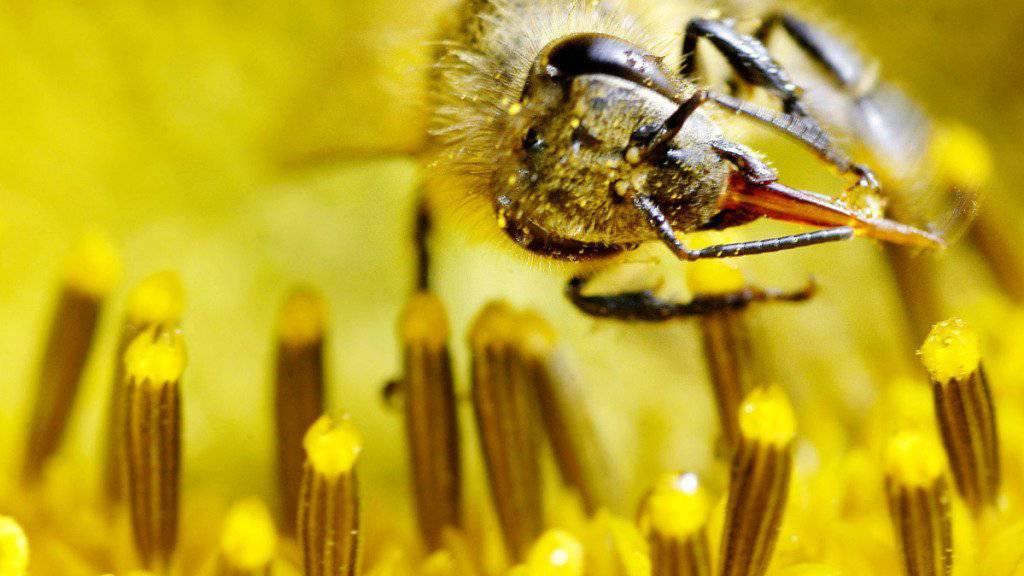 Emsige Sammlerin: Doch nicht nur Nektar und Pollen bringt eine Honigbiene in den Bienenstock zurück, sondern auch Pflanzenschutzmittel aller Art. Eine oft tödliche Mischung für ein Bienenvolk. (Symbolbild)