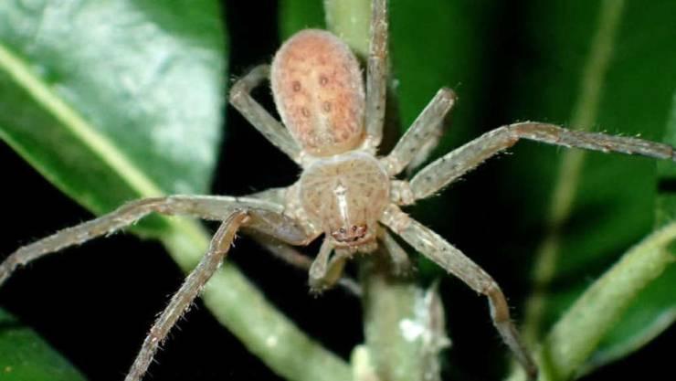 Eine Spinne der Gattung Riesenkrabbenspinne hat den Namen Thunberga greta bekommen. Möglicherweise hätte die Klimaschutz-Ikone es vorgezogen, dass ein Singvogel oder ein Clownfisch nach ihr benannt würde. (Archivbild)