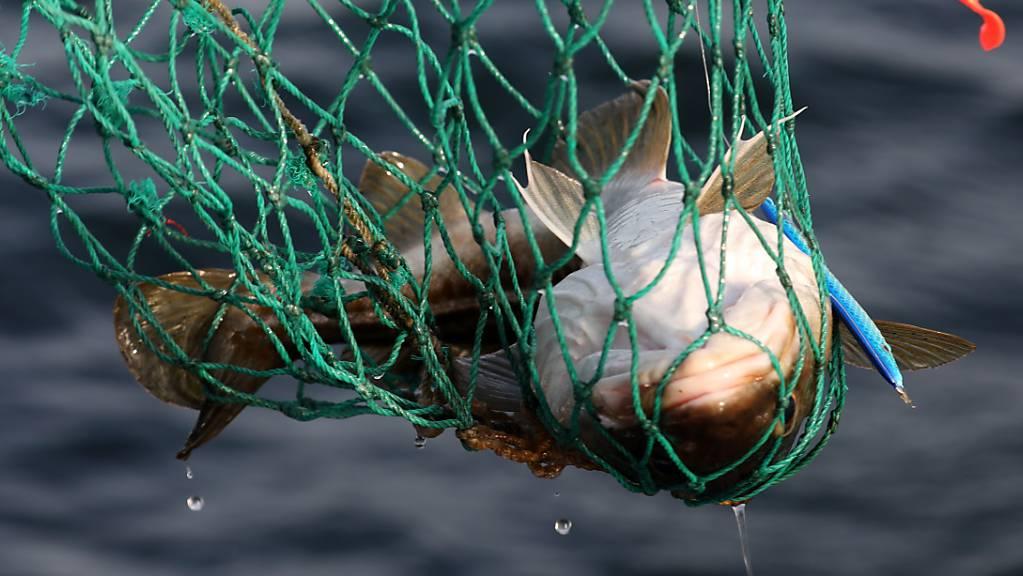 Ein Dorsch wird auf der Ostsee vor Warnemünde an Bord des Angelkutters «Storkow» mit einem Kescher aus dem Wasser geholt.