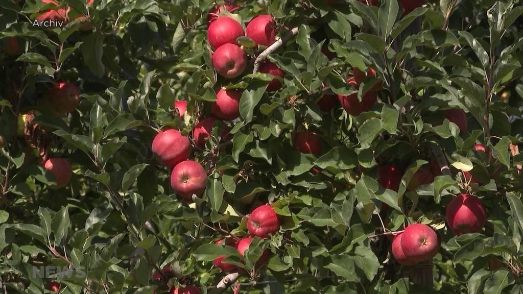 Angst vor hohen Ernteausfällen: Obstbauern müssen Bäume vor Frost schützen