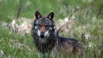 Der Nationalrat will den Schutz des Wolfes aufheben. Er hat eine Standesinitiative des Kantons Wallis angenommen. (Symbolbild)