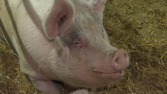 13 Schweine, zwei Kühe und eine Ziege suchen ein Zuhause