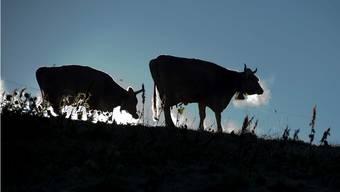 Vom Geplänkel in Bundesbern lassen sich diese weidenden Kühe nicht stören. Die umstrittene Frage: Wie weiter mit den Tierbeiträgen für Bauern?