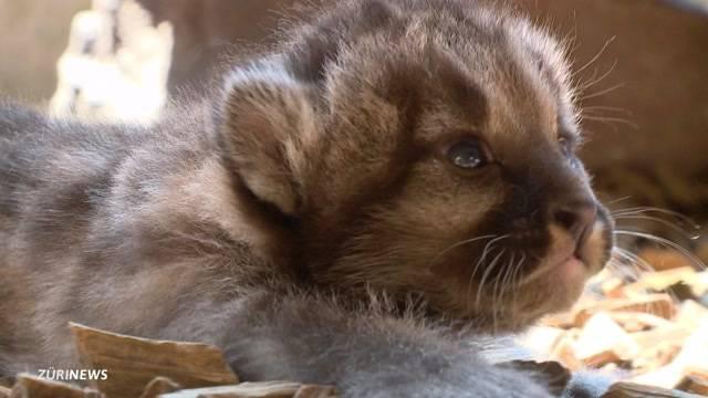 Pumababys im Plättli Zoo geboren