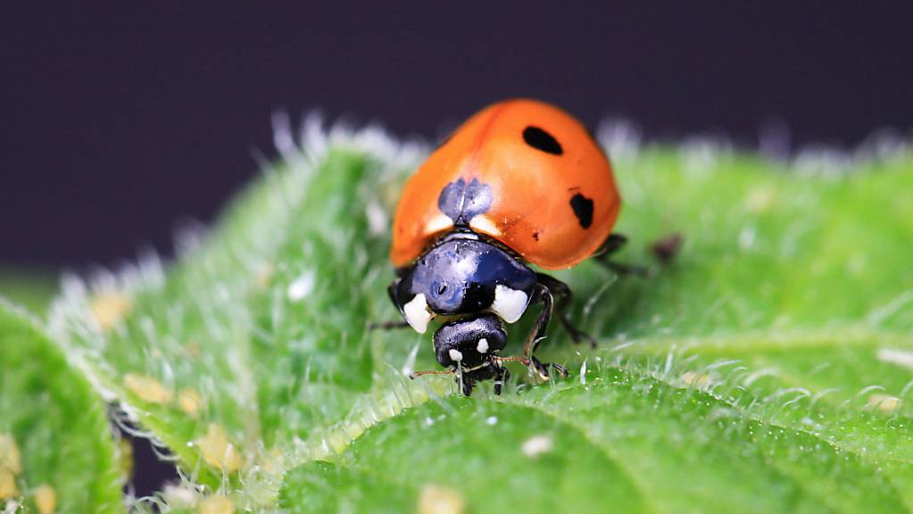 Durch den Verlust an Artenvielfalt fehlt es auch an Nützlingen wie dem Marienkäfer, der Blattläuse frisst.