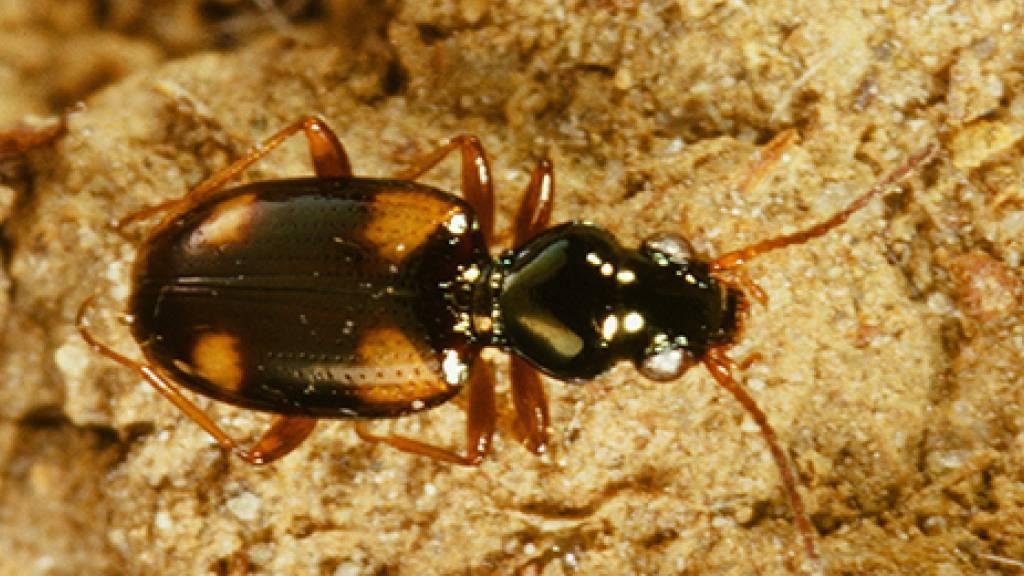 Forscher zählen in Rapsfeld fast 12'000 Käfer aus 104 Arten