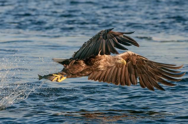 Seeadler fliegen mit einer Geschwindigkeit von etwa sechzig Stundenkilometern über die Wasseroberfläche.