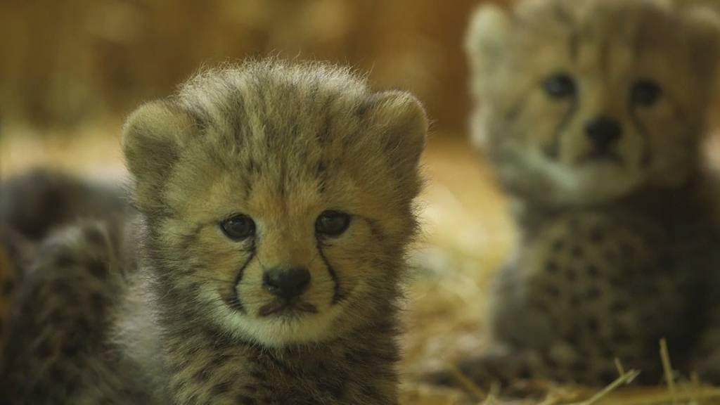 Der Wiener Zoo präsentiert seine vier Gepardenbabys