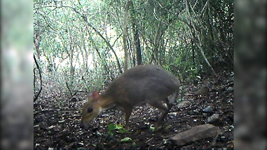 Für ausgestorben gehalten: Maus-Hirsch nach 25 Jahren wiederentdeckt