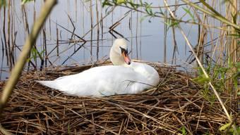 Nachdem es letztes Jahr keinen Nachwuchs gab, hat es aktuell am Hallwilersee sechs mit Eiern belegte Schwanennester.