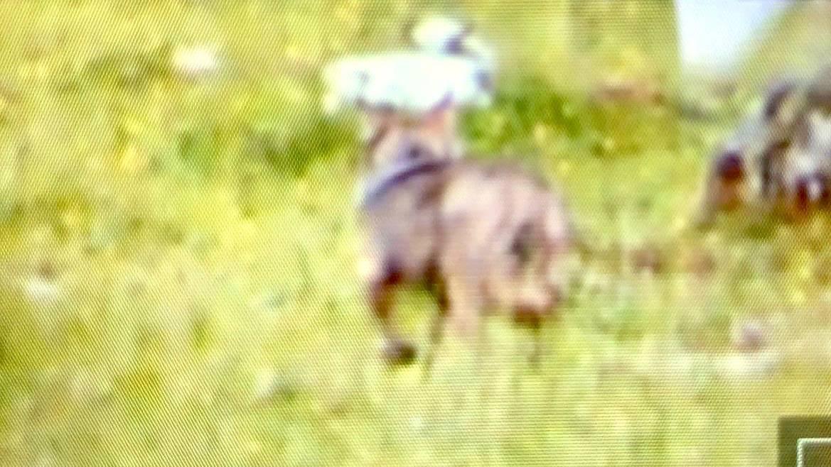 Die Aufnahme der auf der Potersalp aufgestellten Fotofalle zeigt den Wolf.