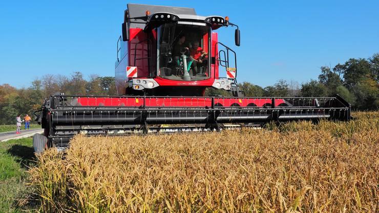 Ökonomie und Ökologie – beide sollen miteinander harmonieren. In Brugg- Lauffohr ist das in Sachen Reisanbau gelungen. Am Samstag war Ernte.Willi Hauensteins Mähdrescher in Aktion.