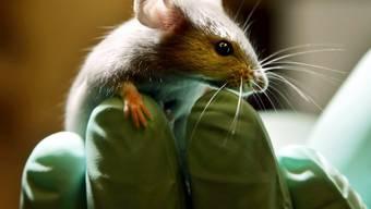 Bei den manipulierten Mäusen kehrte sich die Erfahrung von Schmerz und Lust um. (Symbolbild)