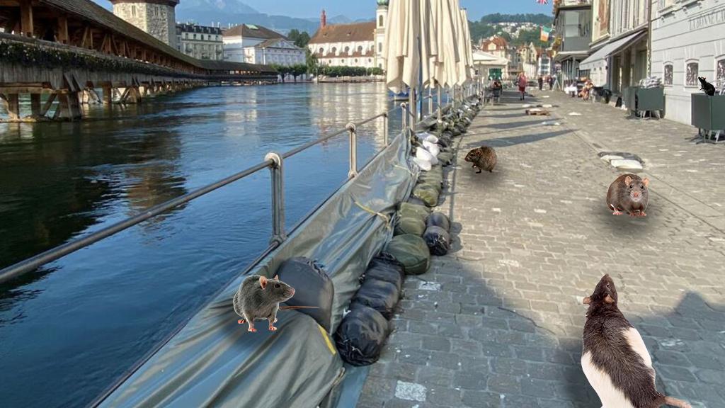 Wegen des vielen Regens sind die Ratten oberirdisch unterwegs