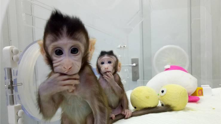 Die Javaneräffchen Zhong Zhong und Hua Hua sind genetisch identisch, wurden aber von zwei verschiedenen Leihmüttern geboren.