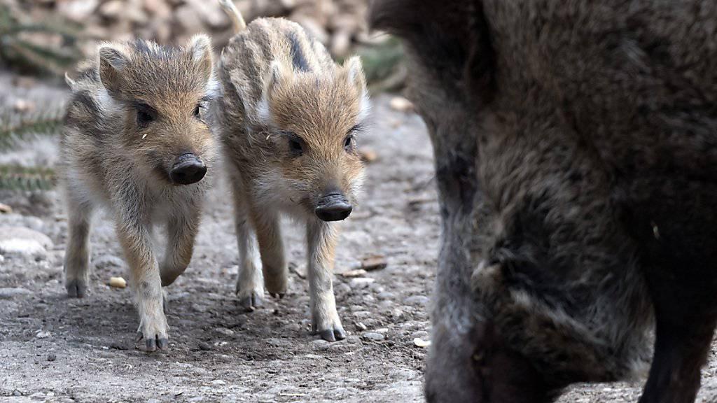 Wegen der Afrikanischen Schweinepest unter genauer Beobachtung: Wildschwein mit Frischlingen, hier im Zoo Basel. (Themenbild)