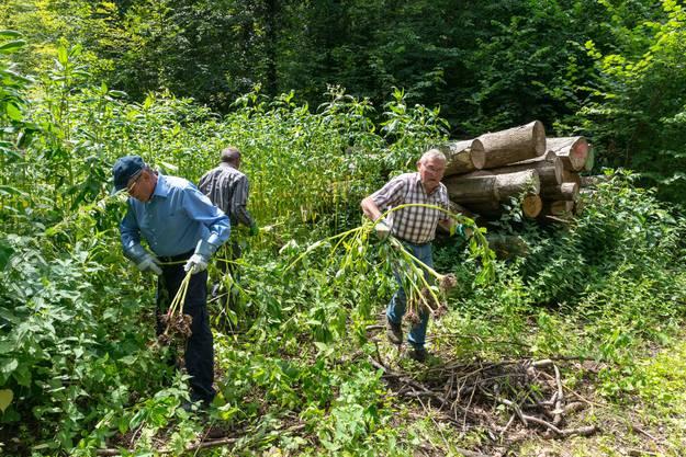 Mitglieder vom Naturschutzverein und von «rund um sulz» reissen im Gebiet Sulger die invasiven Neophyten aus. (Foto Edwin Rüede)