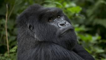 4-Jähriger fällt ins Gorilla-Gehege – und wird vom 200-Kilo-Riesen gepackt