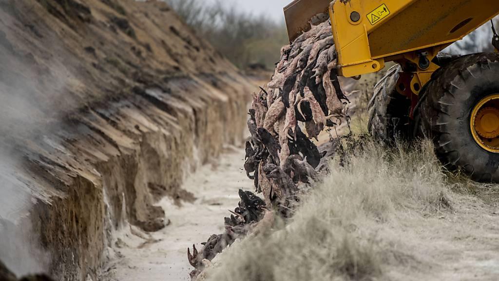 Leichen gekeulter Nerze könnten in Dänemark ausgegraben werden