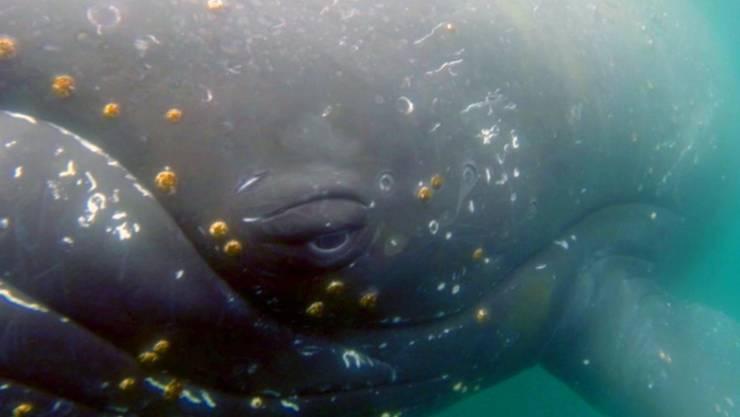 Dank eines Fossilienfundes in Peru kann eine weitere Wissenslücke in der Evolution der Wale von Land- zu Meeresbewohnern geschlossen werden.