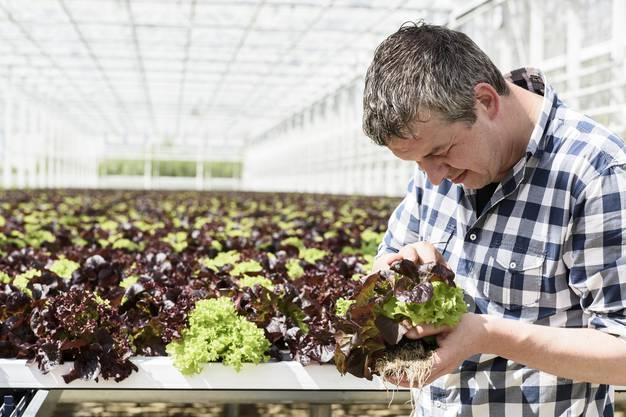 Weil die Wurzeln dran bleiben, bleibt der Salat länger frisch.