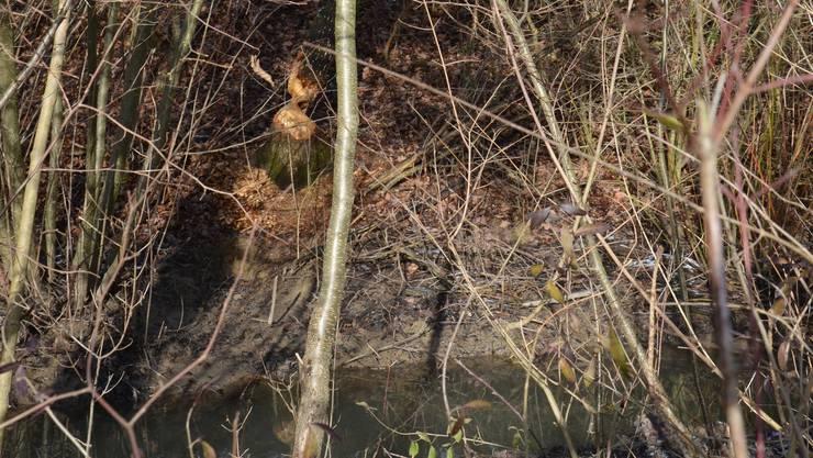 Biberspuren am Längibach in Schinznach-Dorf: Die zwei lokalen Biber-Jungen haben überlebt. Archiv