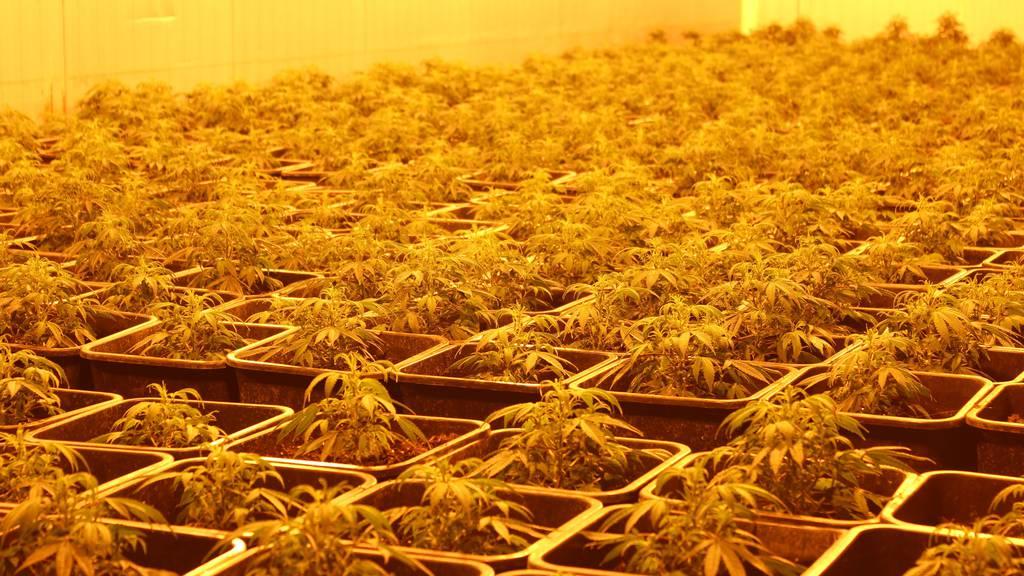 Patrik Lichtensteiger unterhält bereits eine Plantage für den Anbau von Industriehanf.