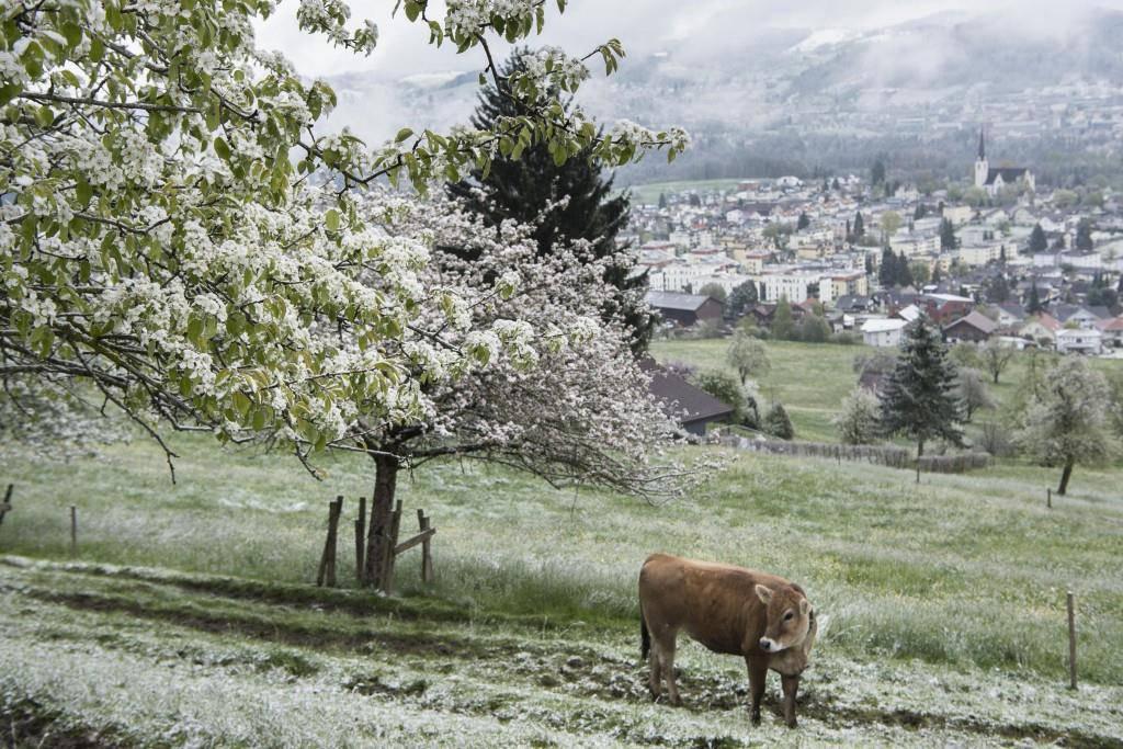 Obstbäume leiden unter Schnee (Bild: Ralph Ribi, Abtwil) (© Tagblatt/Leser)